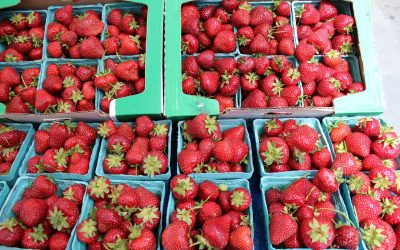 Could Robots Pick Strawberries?  The University of Essex is working with world-famous jam makers Wilkin & Sons of Tiptree to Find Out